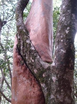 20090517 27ヒメシャラに非融合木.JPG