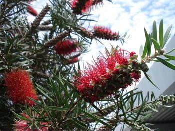 20090520 6ブラシの木.JPG