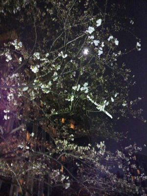 20100327 夜桜Sheraton都H東京.JPG