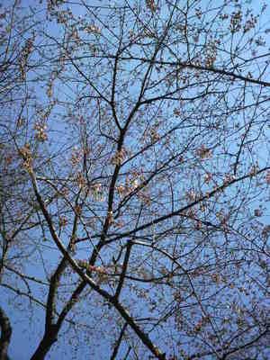 20100327 赤塚溜池公園の桜.JPG