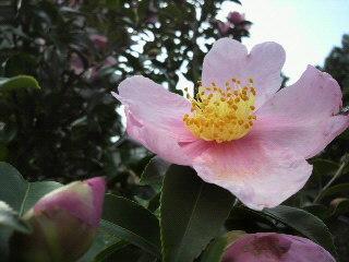20101205 山茶花.jpg